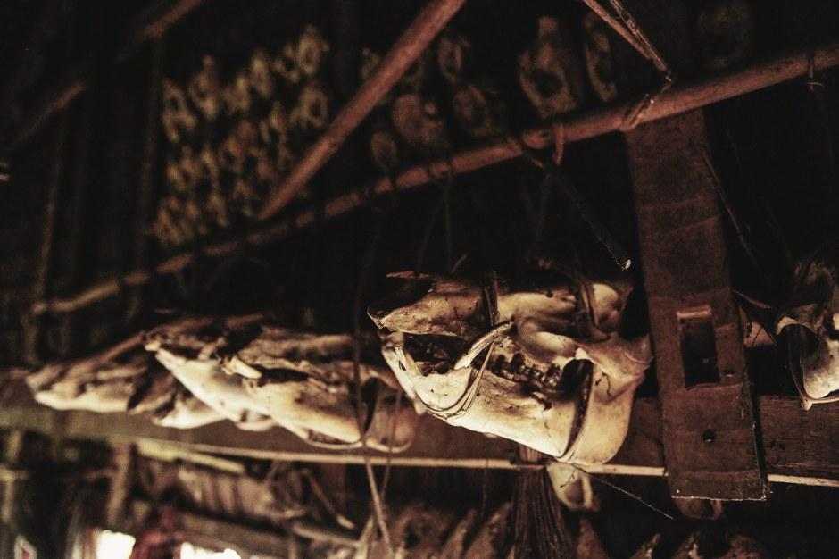Czaszki zwierząt - kolekcja trofeów. Indonezja, Siberut