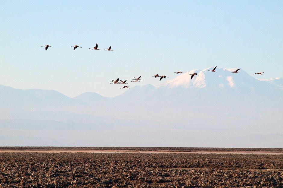 Chile, ptaki na pustyni Atakama