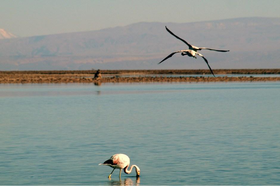 Chile, Atacama, ptaki, flamingi