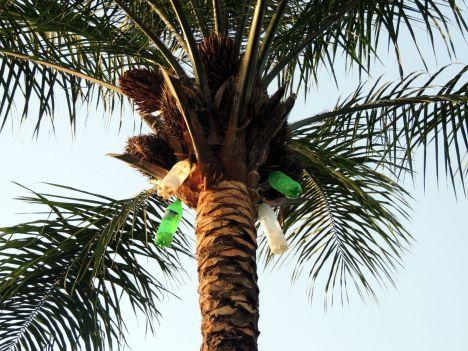 Senegal, tak powstaje bunuk, wino palmowe w Senegalu