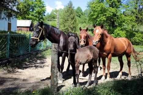 Zakarpacie, Ukraina, dzikie konie