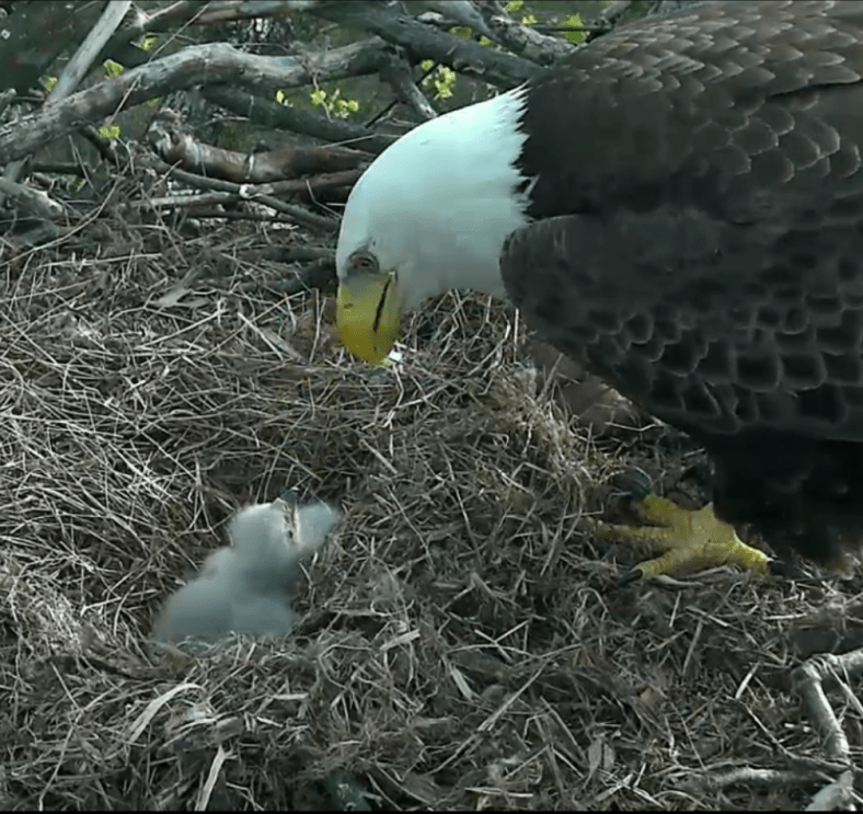 Eagle feeding time. All images © American Eagle Foundation.