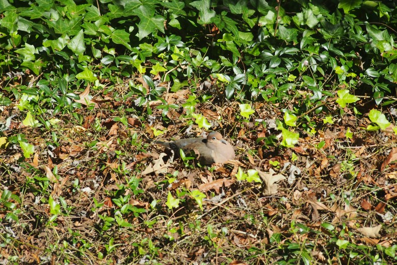 Sleepy Dove resting in the leaves.