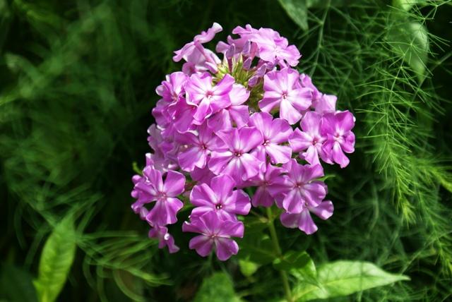 unidentified pink flower 94 bungalow