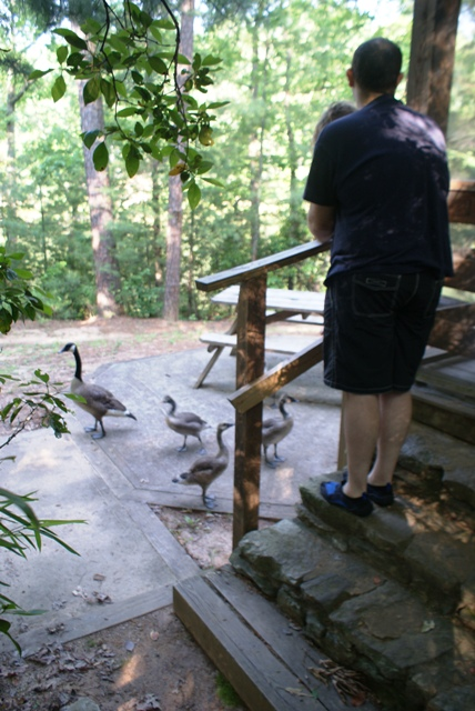 Resident Geese, Oconee State Park, SC