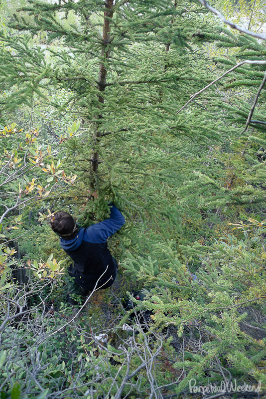 spruce tree fire pole