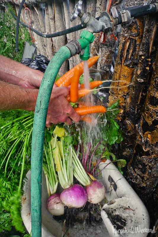 alaska produce farming, subsistance, garden, carrots, turnips