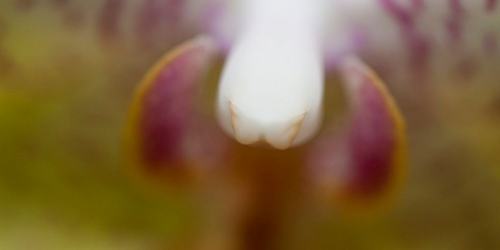 The Bull Orchid Perrin Clarke Photography