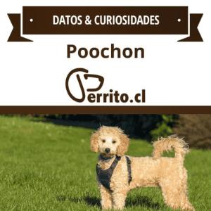 Poochon