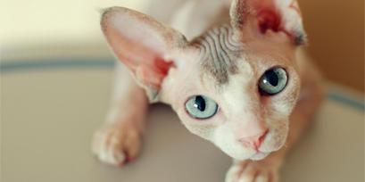 gato egipcio sphynx o esfinge