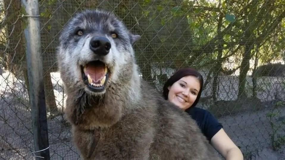 perro lobo yuki