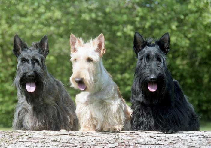 terriers escoceses