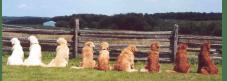 Gradación de perros Golden, yendo del dorado claro al oscuro