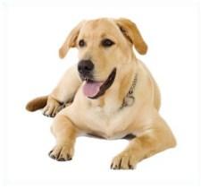 Labrador amarillo sentado y con actitud tranquila