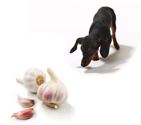 Ajo para los Perros