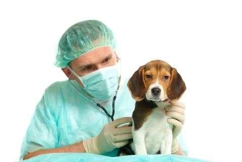 Las Hernias Umbilicales en Cachorros