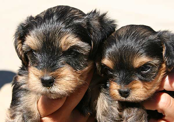 Las vacunas para perros pueden ocasionar efectos secundarios