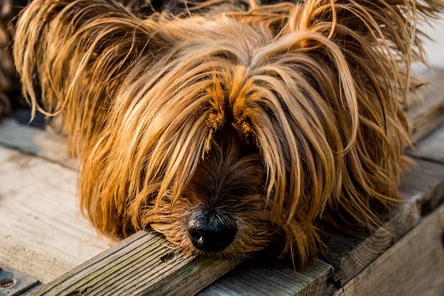 yorkshire-terrier-320833_640