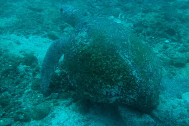 Tortuga marina en las aguas de la isla de Coiba, Panamá