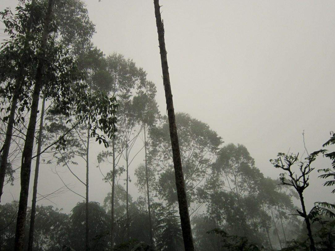 Dimana mana tumbuh pohon Kalitus
