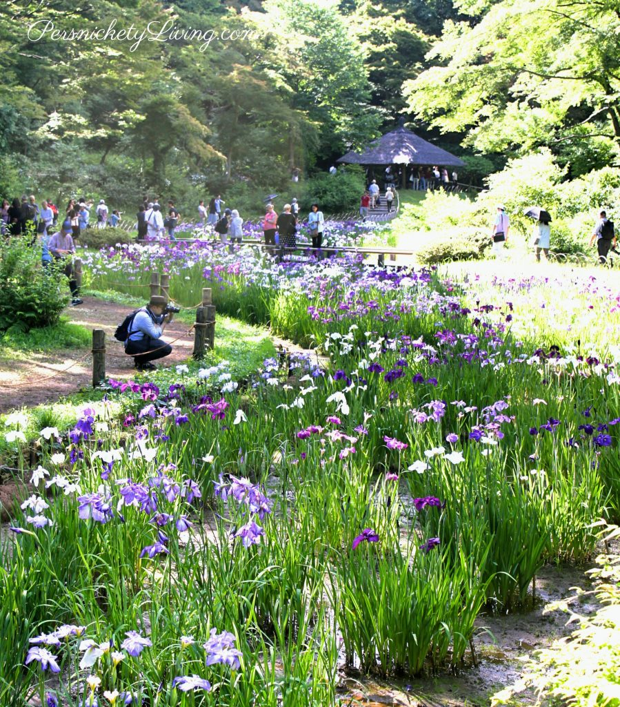Iris garden Meiji Jingu Inner garden Tokyo