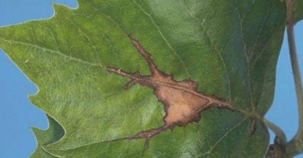 Antracnosis del plátano árbol