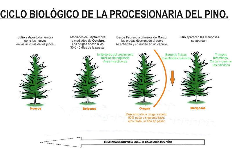 Imagen ciclo procesionaria