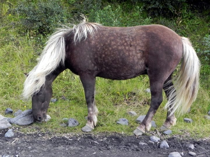 Un cavallo islandese