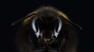 beporzó méh
