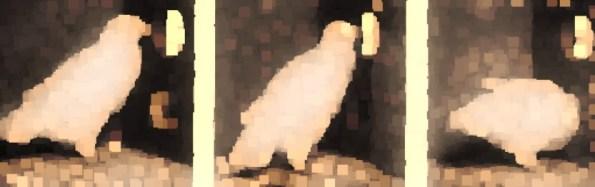 bfskinner pigeon