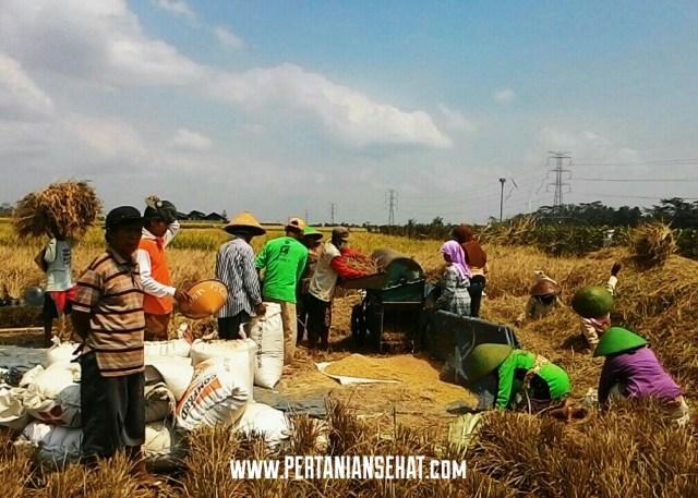 Petani Purbalingga panen padi pada musim tanam tahun ini. (Foto: Mustakim)