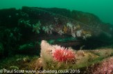 Horseman Anemone Urticina eques amongst the Wreckage of the Glanmire St Abbs