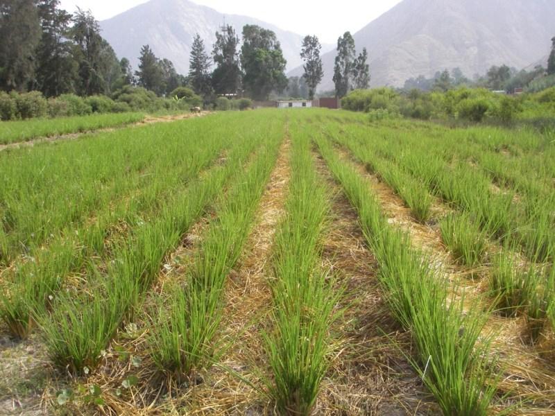 Vetiver-Gras – eine vielfältige Pflanze gegen die Folgen des Klimawandels in Peru