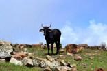 Hermosa vaca, que se encuentra separada de su rebaño.
