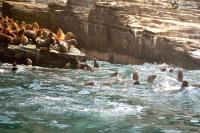Lobos disfrutando de su habitad en Huarmey Ancash