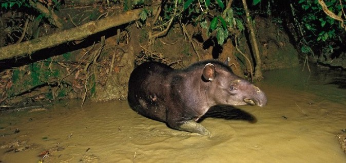 Brazilian Tapir (Tapirus terrestris) at a clay lick