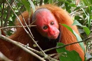 bald red uakari monkey
