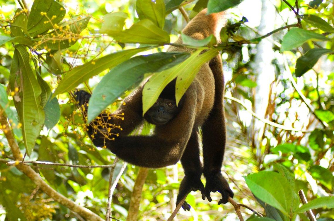 Woolly Monkey (lagothrix poeppigii) Dorilla