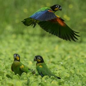 Photo of three Orange-Cheeked Parrots (Pyrilia Barrabandi), one flying