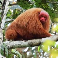 Red-Uakari-Monkey-768x601