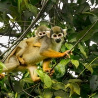 Squirrel-monkey-and-baby-2-768x512
