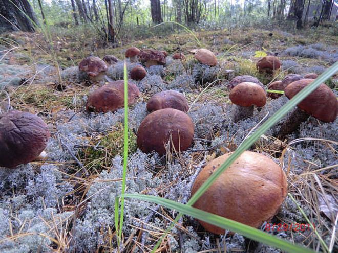 e55bea9af Pestovanie bielych húb v záhrade. Ako pestovať huby na mieste? Osvedčené  spôsoby! Pestovanie hlivy v záhrade