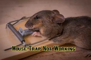 Mouse Trap Not Working | What You Can Do