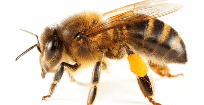 What Do Bees Do with Honey? Uses of Bee Pollen