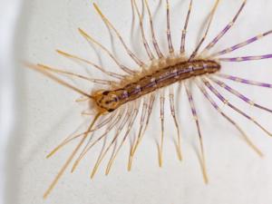 The House Centipede