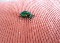 How to Get Rid of Carpet Beetles; Carpet Beetles Infestation