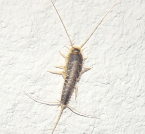 Fast and Safe Ways on How to Get Rid of Silverfish Bugs