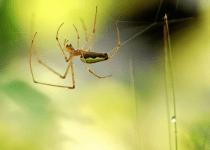Grass spiders