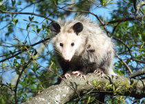 Are Opossums Dangerous? Facts and Behavior of Opossums