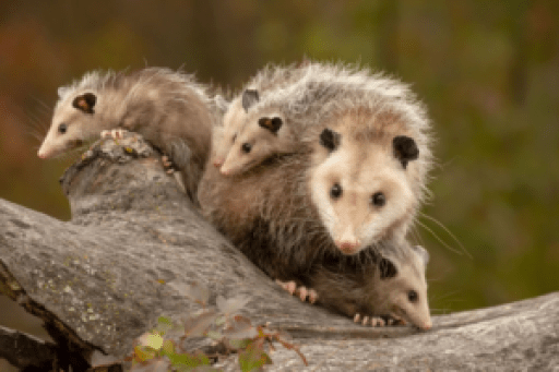 Picture of An Opposum